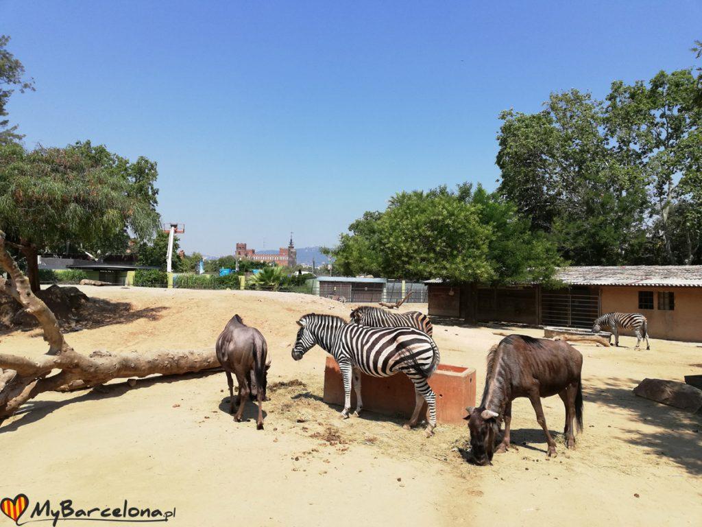 Zoo Barcelona - zebry
